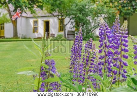 Keremeos, British Columbia/canada - June 3, 2017: Lupins Bloom In The Gardens With The Museum In The