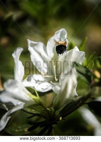 Bumble Bee Flying Into A Blooming White Azalea Flower