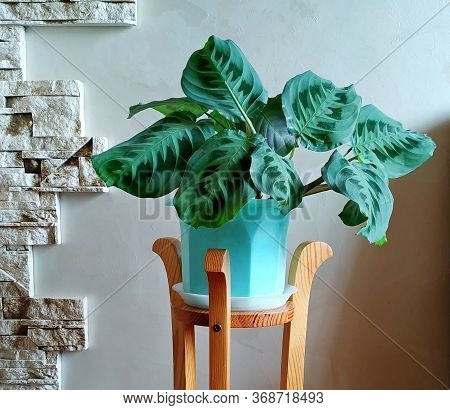 Potted Houseplant Calathea In A Biscay Green Pot Near A Gray Wall On A Wooden Stand.