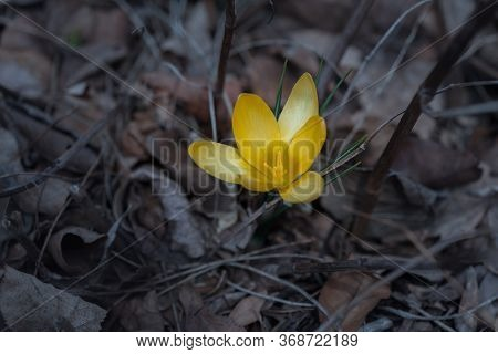 Close Up Of A Single Purple Crocus Flower With Intentionally Blurred Background