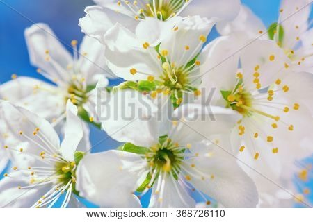 Flowers Of Apple With Green Leaves Against The Blue Sky.apple Blossom Photo.apple Tree Blossom. Bloo