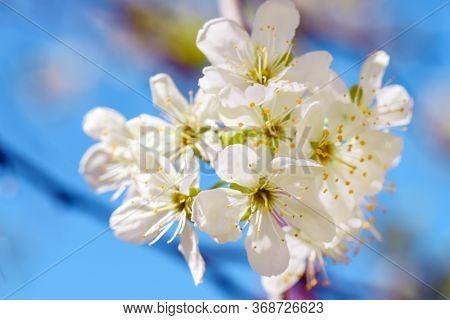 Apple Blossom Photo.apple Blossom Petals With Beauty Bokeh.blossom Apple. Spring Flowering Apple Tre