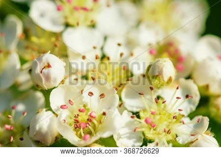 Blossom Apple. Spring Flowering Apple Tree In The Garden, Close Up. Apple Blossom Photo.flowers Of A