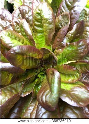 Photo Of Drunken Woman Lettuce (fringed Head) Is An Italian Heirloom Lettuce That Produces Attractiv