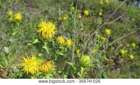 Closeup Of Bright Yellow Teasel Flower Heads