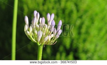 Closeup Of Agapanthus Or Lily Of The Nile Flowers