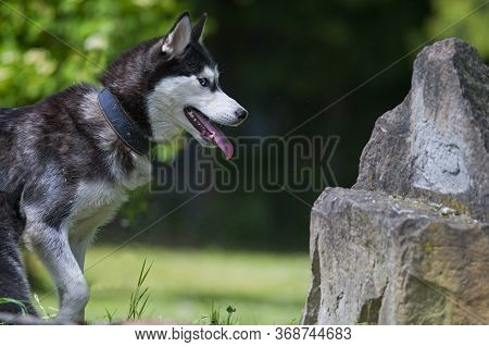 Black And White Siberian Husky Go To The Mountain. Great Dog. The Dog Grimaces.