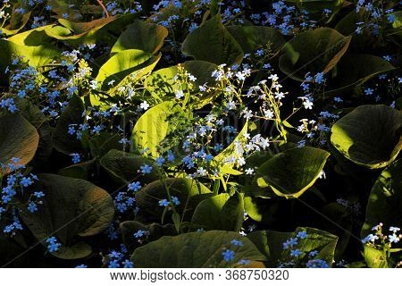 Myosotis Or Thickets Of Scorpion Grasses In Nature, A Ray Of The Setting Sun Illuminates Some Of The