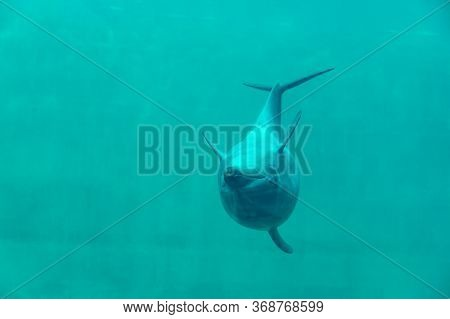 Dolphin Show Upside Down Swimming In Aquarium Underwater Depth Sea