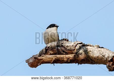 European Pied Flycatcher Ficedula Hypoleuca Male Sitting On Branch Of Tree In Spring. Cute Bright Fo