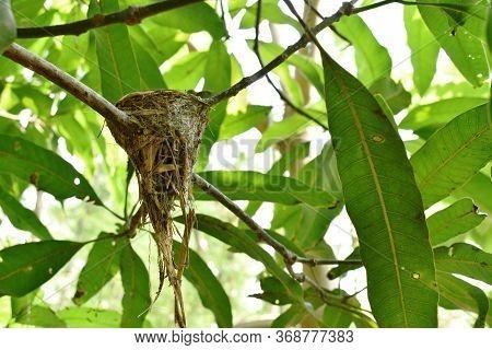 Abandoned Bird Nest After Baby Gone Under Mango Tree