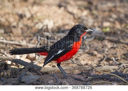 Crimson-breasted Shrike (Laniarius atrococcineus) sitting on the ground in the Kalahari