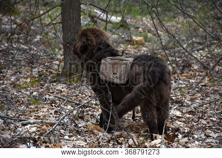 Cute Newfoundland Dog With A Hiking Pack On Him.