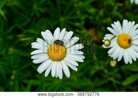 Camomile At Sunny Day At Nature. Camomile Flowers, Field Flowers, Spring Day. Close-up.
