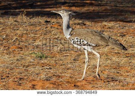 A Kori Bustard (ardeotis Kori) Walking In The Kalahari Desert South Africa