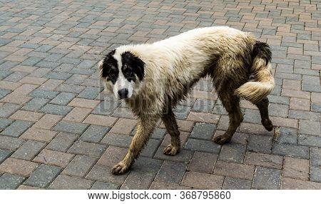 The Bucovina Shepherd Dog. Big Security Shepherd Dog.