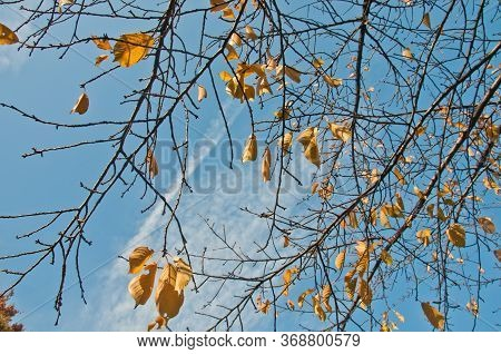 Golden Yellow Foliage Dried Leaves In Late Autumn With Blue Sky Cloudy Sunny Day