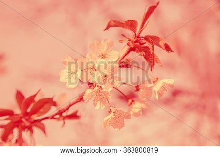 Beautiful Branch Of Cherry Blossom In Coral Shades