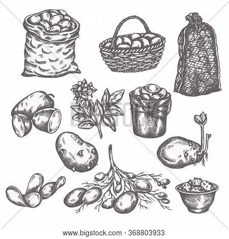 Hand Drawn Sketch Potato Vegetable. Vintage Illustration Of Ripe Potatoes Farm Icons Collection