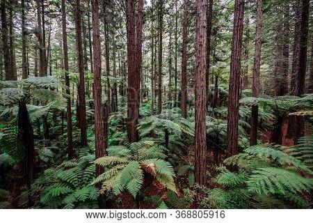 Treewalk In Whakarewarewa Forest Near Rotorua, New Zealand