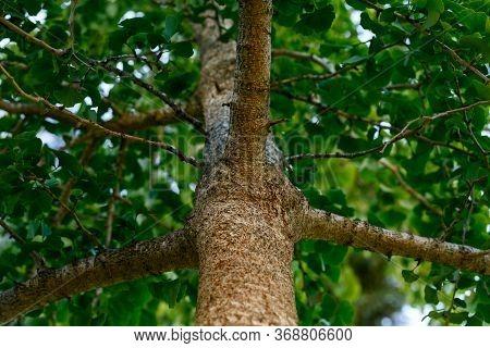 Ginkgo Or Ginkgo Biloba, Maidenhair Tree Trunk In Summer