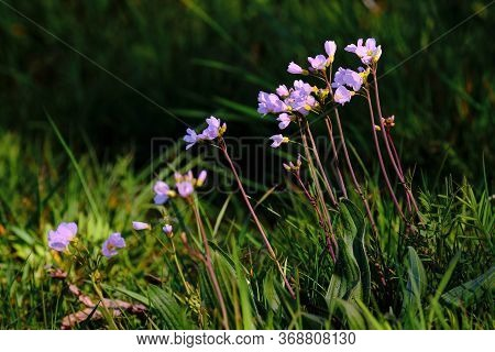 Lilac Violet Cuckoo Flower In A Green Meadow With Dark Green Grass Background, Shallow Field Of Deth