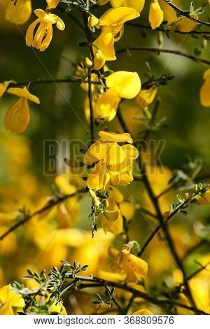 Close-up Yellow Wild Broom Flowers In Forest With Unsharp Background, Shallowe Depth Of Field