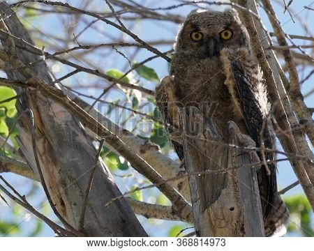 A Great Horned Owl Fledgling Sitting In A Tree Waiting For Its Wings To Be Strong Enough To Fly.
