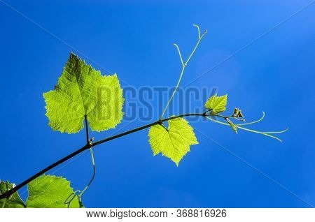 A Young Vine Is Lit By A Bright Sun. Against A Blue Sky.