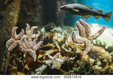 Starfish Species With Five Radiating Arms Sticking To Aquarium Window Glass From Inside. Marine Life