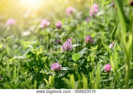 Flowering Clover In Meadow, Clover In Bloom, Beauty In Nature