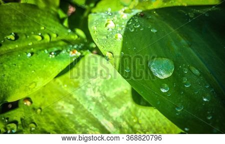 Leave With Water Drops Background With Big And Small Drops.