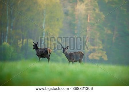 Two Deer On Green Meadow In Morning Sunlight. Wildlife. Spring Scenic Landscape With Deer. Hunting B