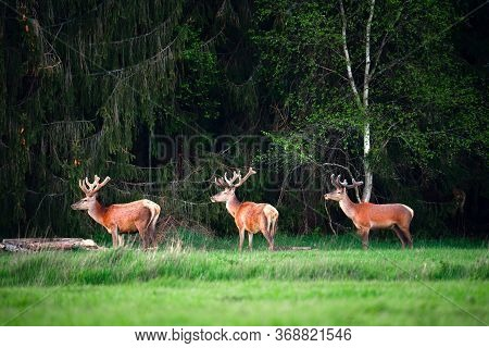Deer With In Wildlife. Three Deer Standing On Green Meadow Near Forest. Wildlife Background. Summer