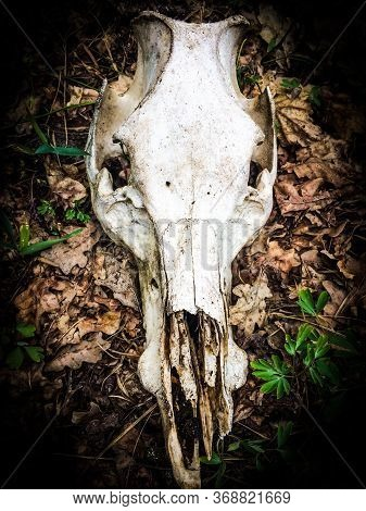 Close Up Of A Roe Deer Skull Found In A Field. Possibly A Fawn Owing To The Size Of The Skull.