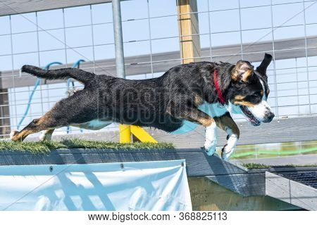 Swiss Mountain Dog In A Dock Diving Competition Jumping Off Of A Dock Into The Pool