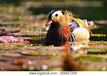 Beautiful Mandarin Ducks. Animals In The Wild. Natural Colorful Background.