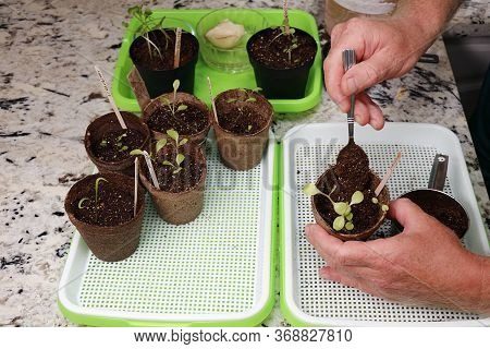 Hands Add Indoor Gardening Soil To A Simpson Seedling Lettuce Plant On A Kitchen Counter. In A Sprou