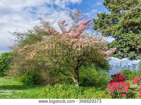 A Blooming Dogwood Tree In A West Seattle Park. It Is Springtime.