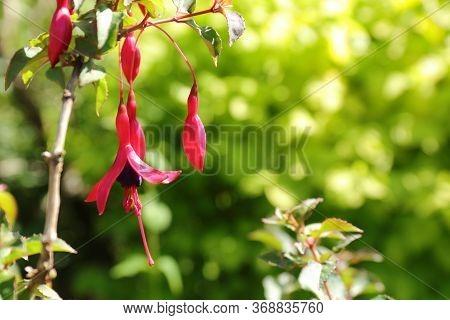 Beautiful And Colourful Purple Hardy Fuchsia (fuchsia Magellanica)