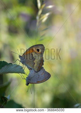 Butterflies Copulating In Their Natural Environment. Macro.