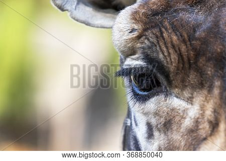 Rothschild's Giraffe - Giraffa Camelopardalis Rothschildi - Head Portrait Eye Detail. The Background