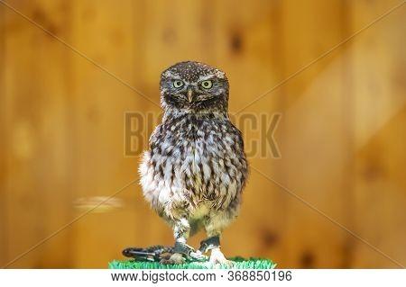 Little Owl - Athene Noctua Portrait Of A Little Owl. The Owl Is Tied By The Leg In A Cage. It Is A F