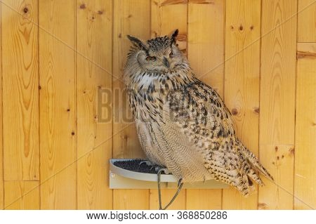Great Spotted Owl - Eurasian Eagle Owl - Portrait Of An Owl In Captivity. The Owl Is Trained By A Fa