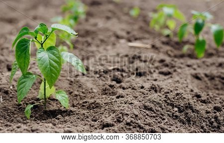 Young Shoots Of Seedlings The Bell Peppers. Closeup View Of Young Paprika Sprouts In The Soil. Agric