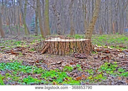 Sawn Oak Tree Stump Closeup In The Forest, Illegal Logging And Vandalism, Environment Destruction Di