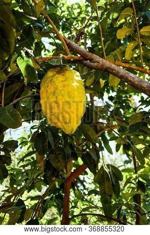 Giant Ponderosa Lemon Also Called Five Pound Lemon Hanging On A Tree In Sri Lanka. Unusual Huge Frui