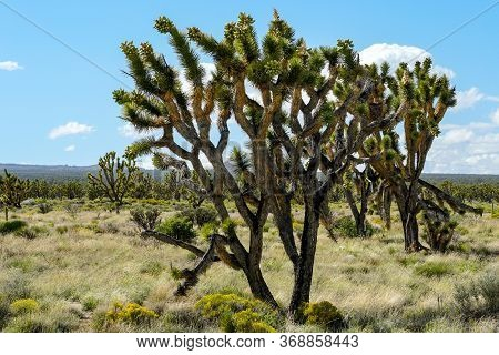 Joshua Tree National Park. American Desert National Park In Southeastern California. Yucca Brevifoli