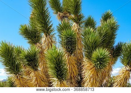 Yucca Brevifolia, Joshua Tree Is A Plant Species Belonging To The Genus Yucca. Joshua Tree National
