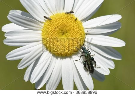 Thick-legged Flower Beetle - Oedemera Nobilis On Oxeye Daisy - Leucanthemum Vulgare With Cockfoot Mo